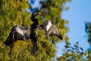 Anhinga Art - Drying up its feathers by Andres Leon