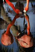 Dark Pink Prints - Dual Flamingo Reflections Print by Dave Dilli