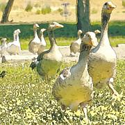 Artist and Photographer Laura Wrede - Duck Duck Goose