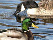 Green Bay Prints - Duck Duck Goose Print by Thomas Young
