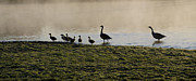 River Mist Framed Prints - Duck Family Panorama Framed Print by Bill Cannon