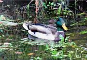 Mikki Cucuzzo - Duck in Pond
