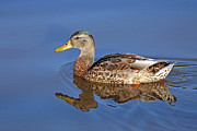 Duck Print by Jim Nelson