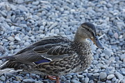Kimberly Oegerle - Duck