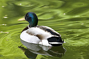 Tony Reddington - Duck on a green pond