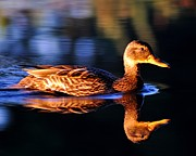 Todd Soderstrom - Duck on a River with...