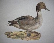 Hunting Cabin Pastels Framed Prints - Duck on a Rock Framed Print by Jackie  Hill