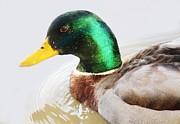 Duck Print by Paulette  Thomas