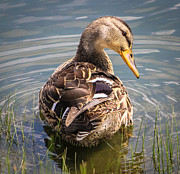 Sitting Ducks Prints - Duck Portrait Print by Heather Garrett