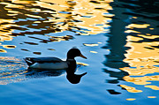 Wing Mirror Photos - Duck Reflects by Glenn McGloughlin