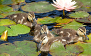 Baby Mallards Photo Framed Prints - Duck Soup 2 Framed Print by Fraida Gutovich