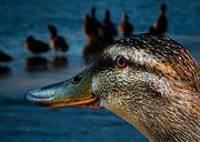 Feathers Photos - Duck Watching Ducks by Bob Orsillo