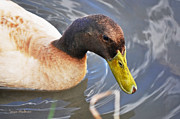 Susan Wiedmann - Duck With Greenish-Yellow Bill