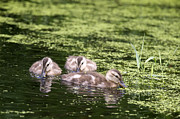 Baby Mallards Posters - Duckies Three Poster by Sharon  Talson