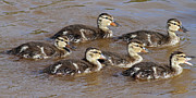 Baby Mallards Posters - Ducklings Poster by Jim Nelson