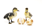 William Voon Prints - Ducklings With Golden Eggs Print by William Voon