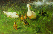Ducks Digital Art Posters - Ducks And Ducklings On A Riverbank Poster by Franz Helfferich