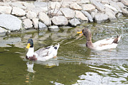 Enjoying Originals - Ducks enjoying life by Dejan  Cvetkovski