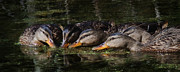 Jan Piller - Ducks In a Row