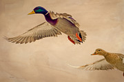 Watercolor Photos - Ducks In Flight by Bob Orsillo