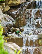 Allen Sheffield - Ducks in the Falls