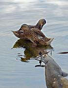 Susan Leggett - Ducks on  Log