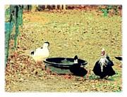 YoMamaBird Rhonda - Ducky Afternoon