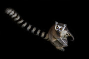 Lemur Catta Prints - Dude Who Stole My Car Print by Ashley Vincent