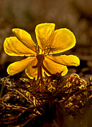 Resistance Prints - Dune Evening Primrose Print by Robert Bales