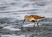 Dunlin Framed Prints - Dunlin Framed Print by Doug Lloyd