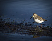 Dunlin Framed Prints - Dunlin Framed Print by Julie Jamieson