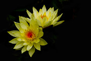 Water Lily Photos - Duo by Rebecca Cozart