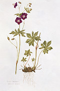 Forms Paintings - Dusky Cranesbill by Diana Everett