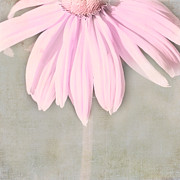 Seasonal Art Posters - Dusky Pink Coneflower Poster by Bonnie Bruno