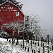 Pinot Noir Photo Originals - Dusting of snow on the vines by CJ Lesieutre