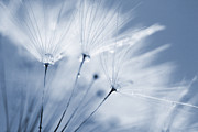 Kitchen Decor Photographs Prints - Dusty Blue Dandelion Clock and Water Droplets Print by Natalie Kinnear