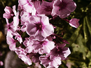 Phlox Digital Art - Dusty Phlox by Jo-Anne Gazo-McKim