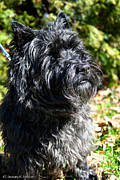 Cairn Terrier Photos - Dusty by Susan Herber