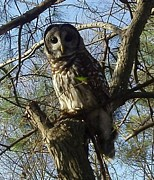 Steven White Photos - Dutch Fork Tennis Centers Barred Owl  by Steven White