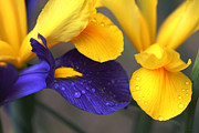 Rain Drop Posters - Dutch Iris Flowers Purple and Yellow Poster by Jennie Marie Schell