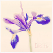 Linde Townsend - Dutch Iris