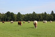 Dutch Landscape Framed Prints - Dutch Landscape with Cows Framed Print by Carol Groenen