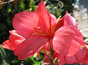 Canna Lily Photos - Dwarf Canna Lily named Shining Pink by J McCombie
