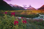Portage Prints - Dwarf Fireweed Portage Creek Bard Peak Print by Michael DeYoung
