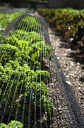 Crop Lines Art - Dwarf Green Curled by Anne Gilbert