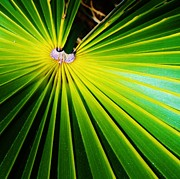 Palmetto Plants Photos - Dwarf Palmetto by Christine  Fifer