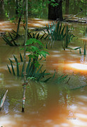 Flood Posters - Dwarf Palmetto -  Congaree Swamp in Flood Stage II Poster by Suzanne Gaff
