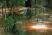 Flood Posters - Dwarf Palmettos - Congaree Swamp in Flood Stage Poster by Suzanne Gaff