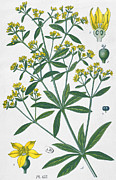 Yellow Leaves Drawings Prints - Dyers Madder Print by French School