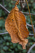 Leaves - Dying Leaf 2 by Robert Ullmann